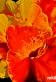 Canna flower 72dpi 1st August 2014 copy.jpg