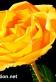 yellow rose 1st August 2014 72dpi copy.jpg